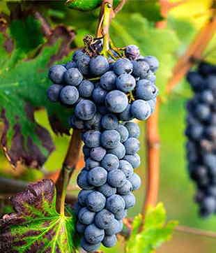 uva nera incantalupi
